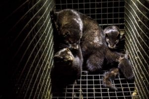 Nearly 600,000 mink killed in fur farm coronavirus cull