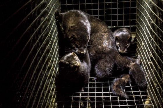 Nearly 600,000 mink killed in fur farm coronavirus cull
