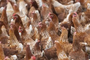 Thousands of chickens killed in farm fire, lightning may be the cause